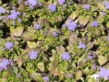 Mosaico de las pequeñas flores de la lila en cama del jardín Imágenes de archivo libres de regalías