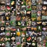 Mosaique delle immagini dei funghi Fotografie Stock