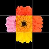 Mosaisk design för färgrik Gerberaringblommablomma Arkivbilder