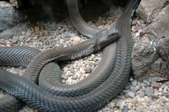 Mosambik-Spratzen-Kobra. lizenzfreies stockfoto