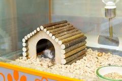 Moscú, Rusia - 16 de abril 2016 Las ratas en casa en tienda del animal doméstico de cuatro patas Imagen de archivo