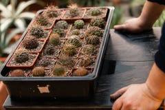 MOSCÚ, RUSIA - 12 DE MARZO DE 2018: El jardinero comprueba la situación de cactus en el Aptekarsky Ogorod Fotos de archivo libres de regalías