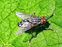 mosca Foto de Stock