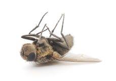 mosca Imagem de Stock Royalty Free