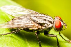 mosca Foto de Stock Royalty Free