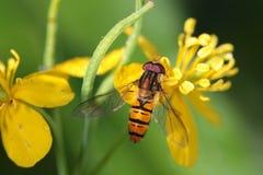 mosca Fotografia de Stock