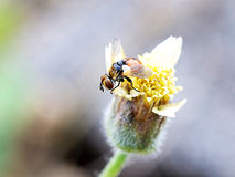 mosca Imagens de Stock Royalty Free