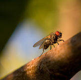 mosca Fotografia Stock Libera da Diritti