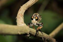 mosca Foto de Stock Royalty Free