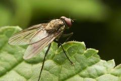 mosca Immagini Stock Libere da Diritti