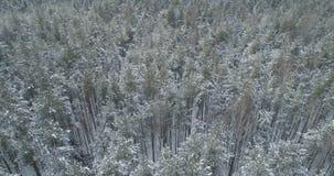 Mosca aérea de la visión superior sobre bosque congelado del mixeb con los árboles del pino y de abedul Imagen de archivo libre de regalías