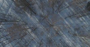 Mosca aérea de la visión superior sobre bosque desnudo del abedul en un día de invierno soleado Imagenes de archivo