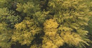 Mosca aérea sobre bosque amarillo del otoño en un día nublado Fotos de archivo libres de regalías