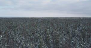 Mosca aérea sobre bosque congelado del mixeb con los árboles del pino y de abedul Imagen de archivo libre de regalías