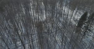 Mosca aérea sobre bosque desnudo del abedul en un día de invierno soleado Imagenes de archivo