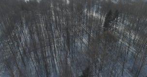 Mosca aérea sobre bosque desnudo del abedul en un día de invierno soleado Fotografía de archivo libre de regalías
