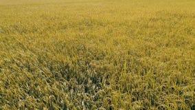 Mosca aérea sobre de campos do arroz video estoque