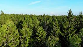 A mosca aérea sobre a floresta dos pinheiros, luz solar geen sobre ramos vídeos de arquivo
