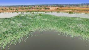 Mosca aérea sobre la vista superior del campo de flor de loto en el lago o la charca, inclinación móvil de la cámara encima del t almacen de video