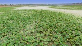 mosca aérea sobre la vista superior del campo de flor de loto en el lago o la charca, tiro móvil de la opinión de la cámara, cant almacen de video