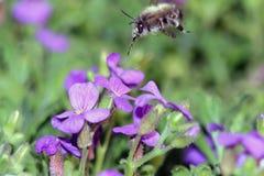Mosca-abeja Imagenes de archivo