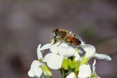 Mosca-abeja en una flor Imagen de archivo