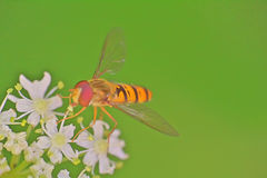 Mosca - abeja en una macro del tallo de la hierba Fotografía de archivo libre de regalías