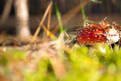 Mosca-agaric Foto de Stock