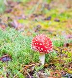 Mosca-agaric na floresta Imagem de Stock Royalty Free