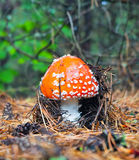 Mosca-agaric na floresta Foto de Stock Royalty Free