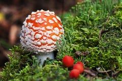Mosca-agaric na floresta com os cogumelos verdes pequenos e a baga vermelha Fotografia de Stock Royalty Free