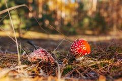 Mosca-agaric que cresce no fim da floresta do outono acima fotografia de stock