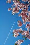 Mosca allo sbarco di sakura Fotografia Stock Libera da Diritti