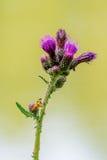 Mosca amarilla que se sienta en un cardo de la flor Imagen de archivo