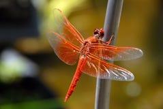 Mosca anaranjada del dragón Imágenes de archivo libres de regalías