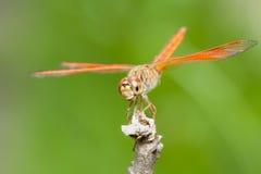 Mosca anaranjada del dragón que descansa sobre rama Imagenes de archivo