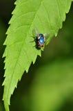 Mosca azul Foto de archivo libre de regalías