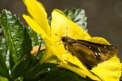 Mosca azul de la mariposa en naturaleza de la mañana Fotografía de archivo