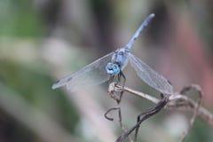 Mosca azul do dragão Fotos de Stock Royalty Free