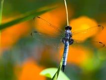 Mosca azul do dragão - skimmer comum Fotos de Stock Royalty Free