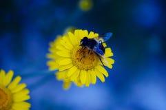 Mosca azul en la flor amarilla Foto de archivo