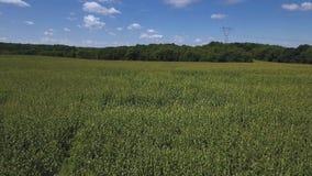 Mosca bajo aérea sobre campos de maíz en Pennsylvania occidental almacen de video