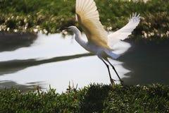 Mosca bianca dell'egretta Fotografia Stock Libera da Diritti