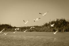 Mosca blanca de la gaviota sobre el río y la orilla Foto de archivo libre de regalías