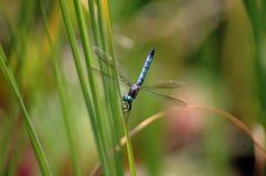 Mosca blu del drago Fotografie Stock Libere da Diritti