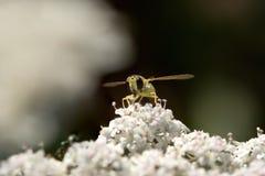 Mosca colorida que chupa el polen Fotos de archivo
