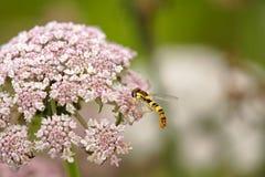 Mosca colorida que chupa el polen Imágenes de archivo libres de regalías