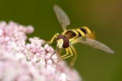 Mosca colorida que chupa el polen Imagen de archivo libre de regalías