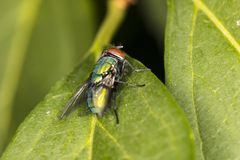 Mosca colorida que se sienta en un primer verde de la hoja Foto de archivo libre de regalías