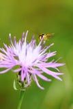 Mosca colorida que vuela a la flor púrpura Imagenes de archivo